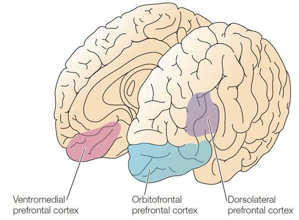 左:腹内侧前额皮层 中:眼窝前额皮质 右:背外侧前额皮质